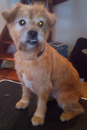 Tania, Border Terrier, tonte 9,5mm