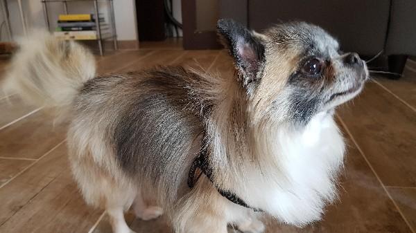 Hip-Hop, Chihuahua poil long. Toilettage complet, soins et carding, un vrai petit prince !